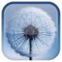 icon Dandelion Live Wallpaper